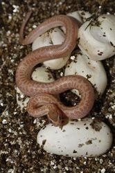 T-Albino het Anery Cape House Snake