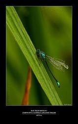 Blue-tailed Damselfly, Leighton Moss-Silverdale Lancashire-England