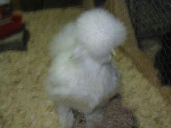 Hen 3 months old