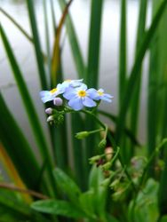Tufted forget-me-not