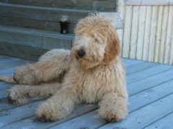 Past Goldendoodle
