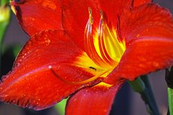 Red day lilly and ant