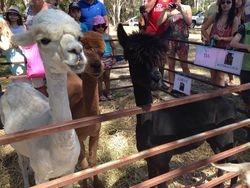 Australia Day Shearing Demo 2015
