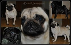 Kollage of some of the Snowpug dogs