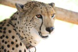 Sylvester the Cheetah - Zimbabwe