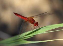 Scarlet Dragonfly