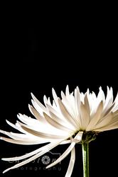 White Flower #1