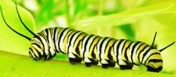 Caterpillar 1 by Pat McLean (AW)