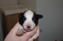 Jazzys babies-13 days old - Black and white female -13 days old