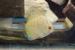 Pearl Pigeon Blood Discus-$50