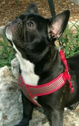 Nkc Turtle,Tiny Female will only be about 18 lbs,Black/Brindle with white Bib and goatee.French Bulldog Puppy.$3800.00