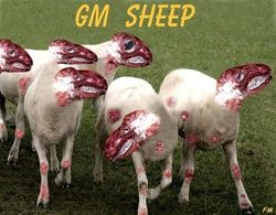 GM SHEEP