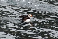 Puffin at Witless Bay Island Reserve