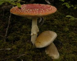 Amanita muscaria and Boletus edulis