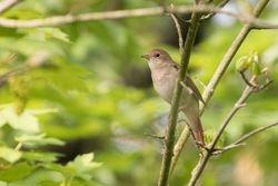 Common Nightingale   (Rossignol philomèle)
