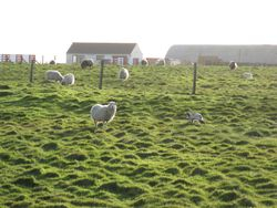 Yows and lambs in front of the airfield