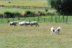 Dante - sheep day