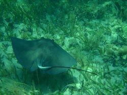 Stingray at Sandy Cay