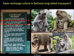 The macaques living around the Uluwaty Temple (south Bali) have become experts at robbing temple visitors of eyeglasses that they use as token (to exchange them for food)