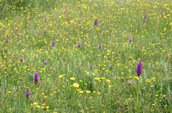 orchids in the meadow in Mules Park