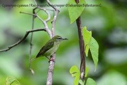 Red-legged honeycreeper - female