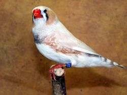 Marked White Cock Bird