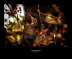 Female Blackbird 1