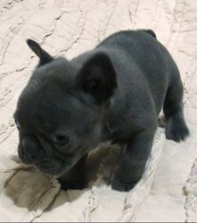 AKC Malto: Male, Blue/Blue Eyes w/ White on Chest French Bulldog Puppy. AKC $4500.COMPANION