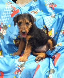 GINA:  $1095 companion, $1495 full AKc with breeding rights, Female, Giant Airedale Terrier, born 3-5-17, Home Raised, 2 Year Health Guarantee, Vet Physical Exam, Current Vaccinations and Deworming, AKC Reunite Microchip, Care Recommendations and Guidance