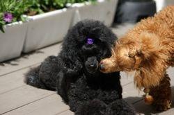 Bailey uppvaktar mamma