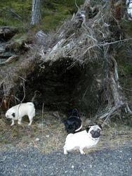 """Hundene ved """"hulen"""" 30.01.2011"""