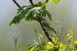 Lesser Whitethroat  (Fauvette babillarde)