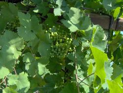 Prosecco D.O.C.G. grapes in July