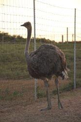 Erica the Ostrich