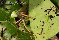 Praying Mantis with lunch, Wanang