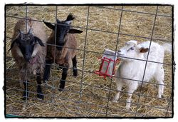 2 angora goats and a Nigora doe