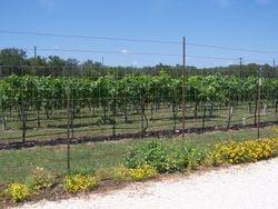 Grape vines at Dry Comal Creek Vineyards