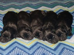 All The Black Puppies.
