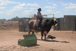 Singing on a Big Bull