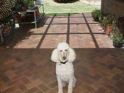 Claire, our first standard poodle