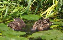 Headless ducks!