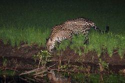 Onca pintada ( Panthera onca )