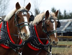 Belgian Mare Team Polly & Molly