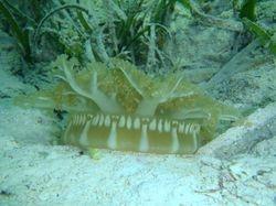 Upsidedown jellyfish at Matt Lowes Cay