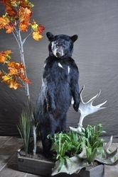 200 Lb. bear Standing