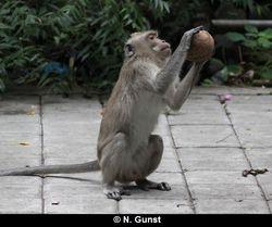 Coconut bashing (Pulaki)