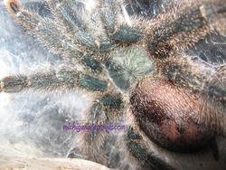 Avicularia metallica