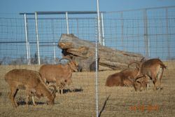 1-20-14 Aoudad picture