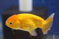 Lionhead Goldfish -$16