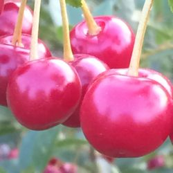 Carmine Jewel cherries, July 3